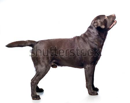 Psa biały czarny głowie studio szczeniak Zdjęcia stock © GekaSkr