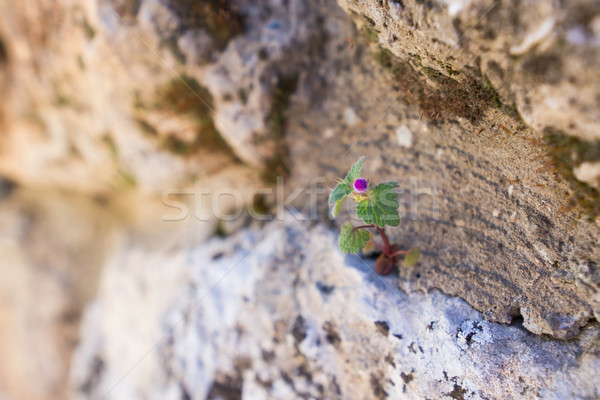 flower in rock Stock photo © GekaSkr
