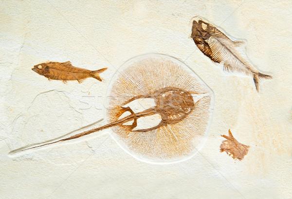 ősi tengeri kő tudomány állat történelem Stock fotó © GekaSkr