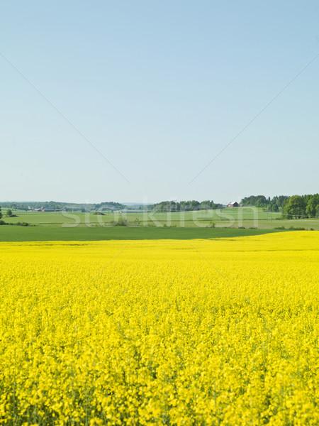Violación campo petróleo semillas naturaleza verde Foto stock © gemenacom