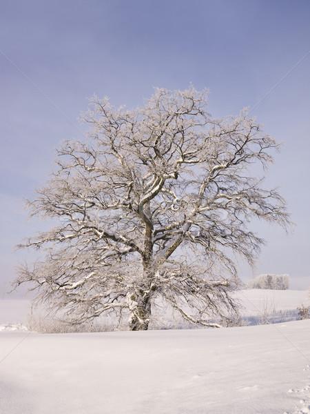 Oak tree at winter Stock photo © gemenacom