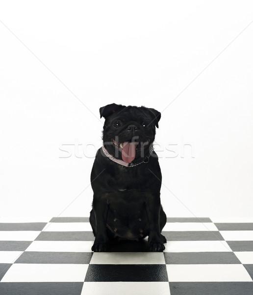 French Bulldog Stock photo © gemenacom