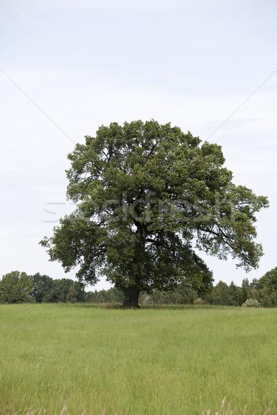 Dąb zielone Hill trawy drewna piękna Zdjęcia stock © gemenacom