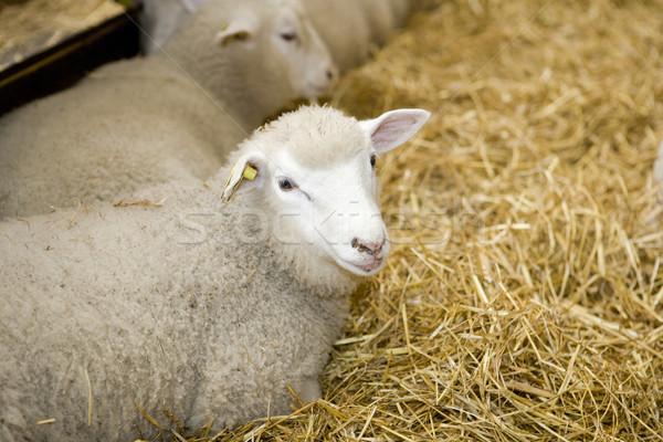 Sheeps Stock photo © gemenacom