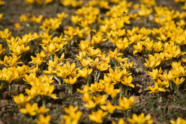 Açafrão primavera quadro completo primavera natureza verde Foto stock © gemenacom