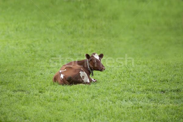Single cow Stock photo © gemenacom