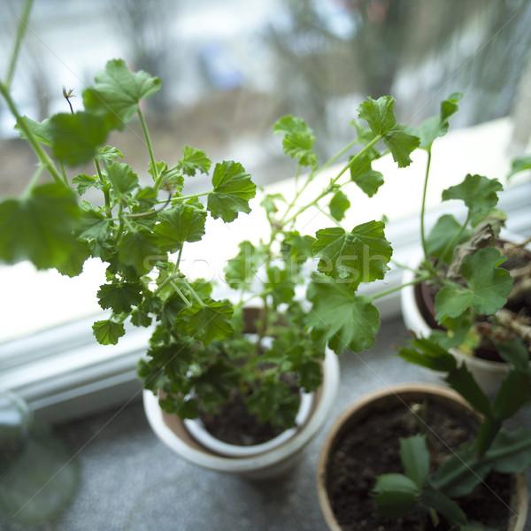 Houseplant Stock photo © gemenacom