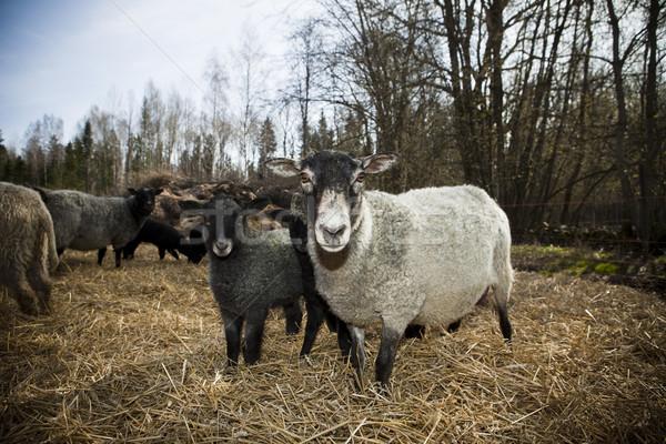 пастбище дерево природы фермы черный овец Сток-фото © gemenacom