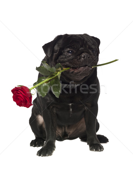 Black pug with a rose in the mouth  Stock photo © gemenacom