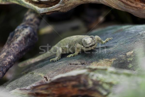 Sürüngen bitkiler kertenkele Evcil yakın çekim Stok fotoğraf © gemenacom