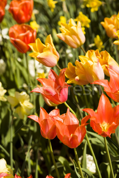 Red and yellow tulips Stock photo © gemenacom