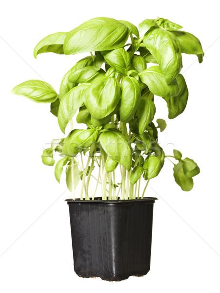 Basil Plant Stock photo © gemenacom