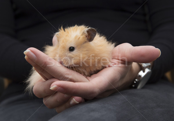 Hamster in Human Hands Stock photo © gemenacom