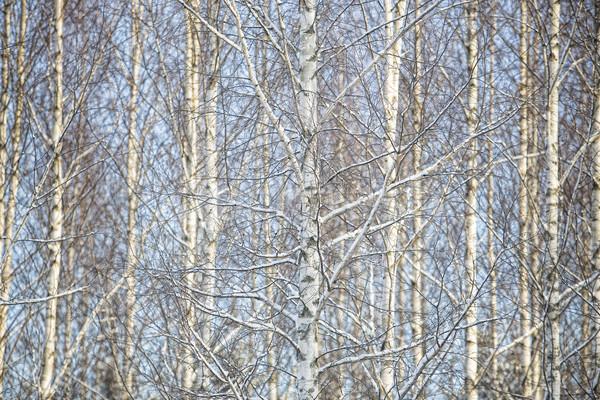 Huş ağacı ağaçlar tam kare kış gökyüzü ağaç Stok fotoğraf © gemenacom