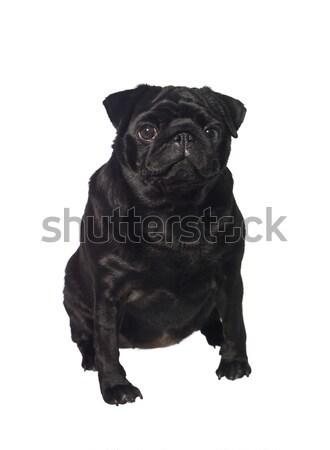 Foto stock: Preto · isolado · branco · cão · cachorro · animais · de · estimação