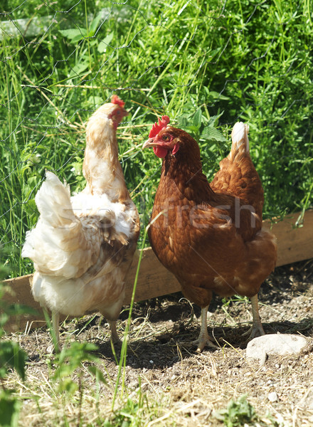 Poultry Stock photo © gemenacom