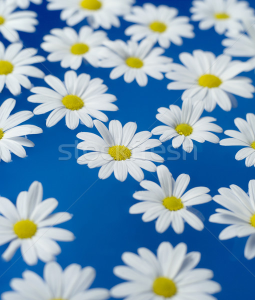 Oxeye Daisy Stock photo © gemenacom