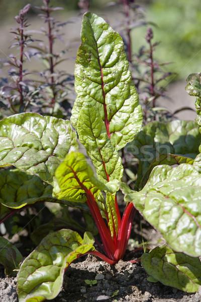 Beet Vegetables Stock photo © gemenacom