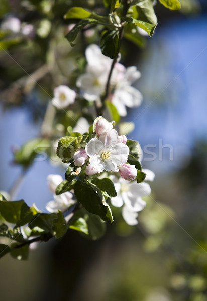 Apple Blossom with short focal depth on a sunny day Stock photo © gemenacom