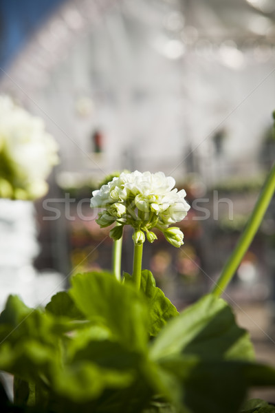 Pelargonium with short focal depth Stock photo © gemenacom