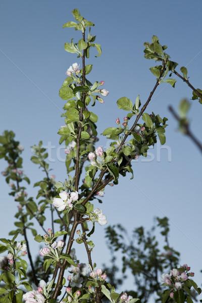 Manzana flor azul claro cielo árbol naturaleza Foto stock © gemenacom