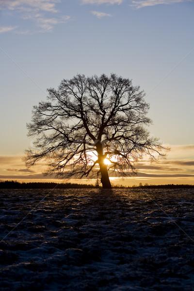 Arbre rétroéclairage ciel soleil hiver nuage Photo stock © gemenacom