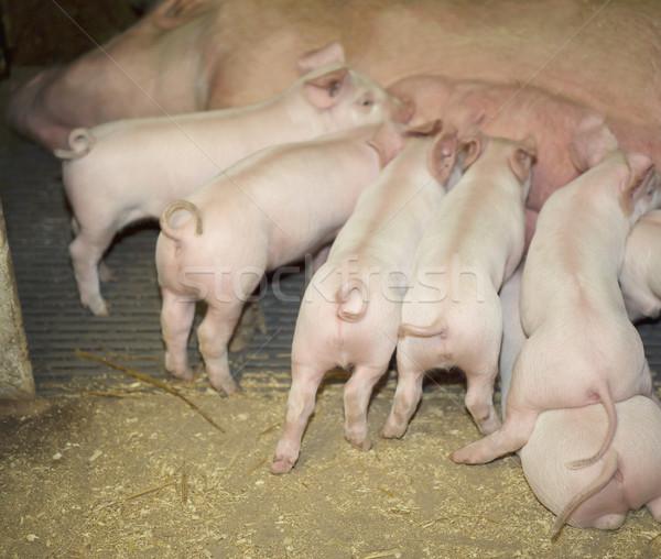Csoport eszik farm étel anya tej Stock fotó © gemenacom
