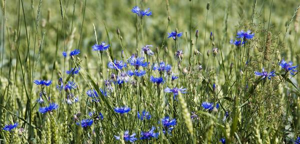 Selektywne focus trawy słońce charakter lata Zdjęcia stock © gemenacom