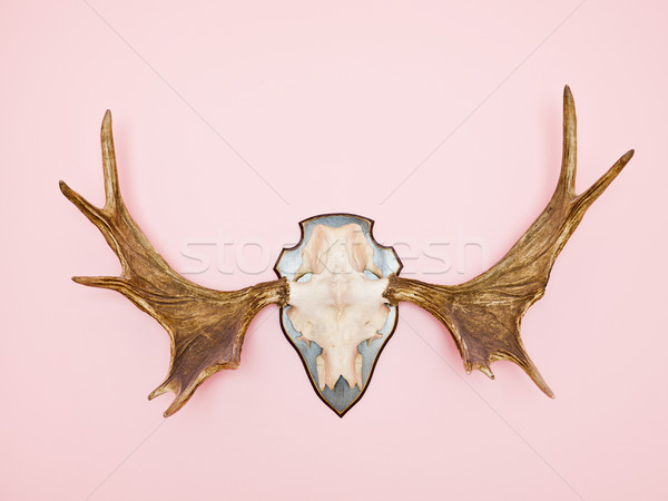 Moose corno rosa animale pelliccia remote Foto d'archivio © gemenacom