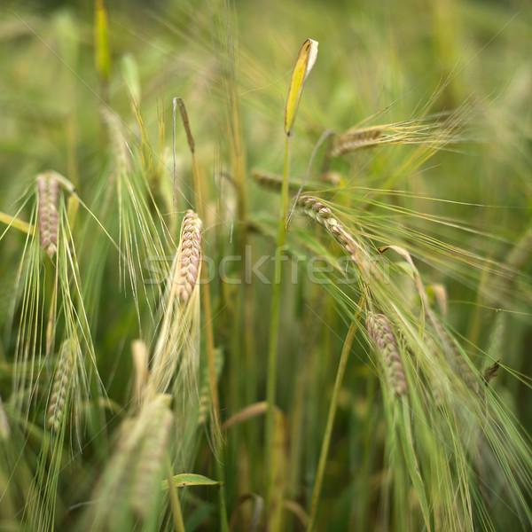 зерновых завода природы лет области Сток-фото © gemenacom