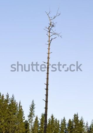 One single dead tree Stock photo © gemenacom