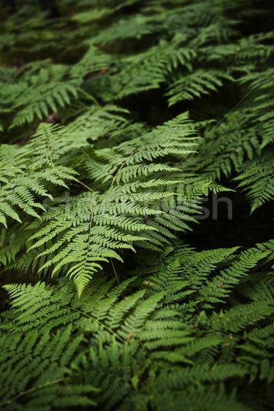 Felce full frame acqua natura verde stagno Foto d'archivio © gemenacom