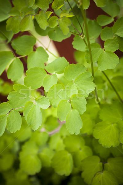 Menthe poivrée usine nature menthe croissance Photo stock © gemenacom