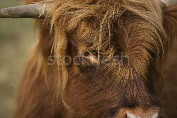 Stock photo: Highland cattle