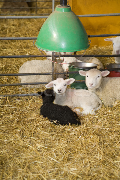 Lambs and sheeps Stock photo © gemenacom
