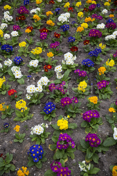 Formation of colorfull flowers Stock photo © gemenacom