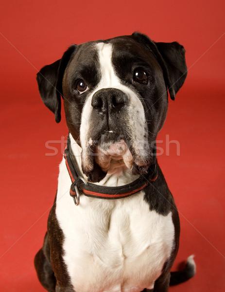 üzücü köpek boksör kırmızı üzüntü Evcil Stok fotoğraf © gemenacom