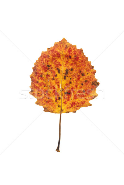 aspen tree leaf Stock photo © gemenacom