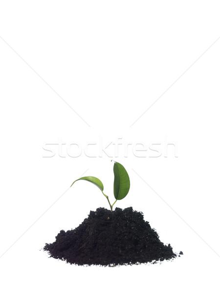 Growing plant Stock photo © gemenacom