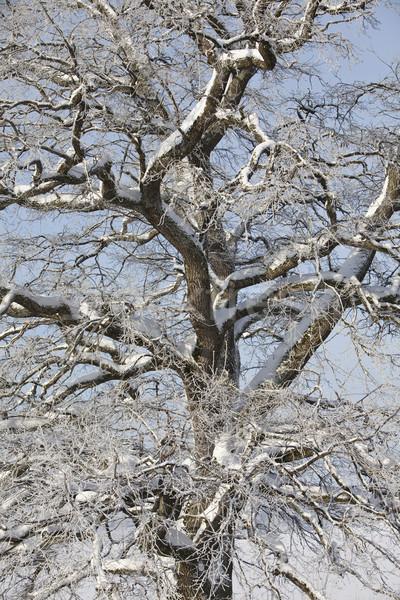 Tree ar winter Stock photo © gemenacom