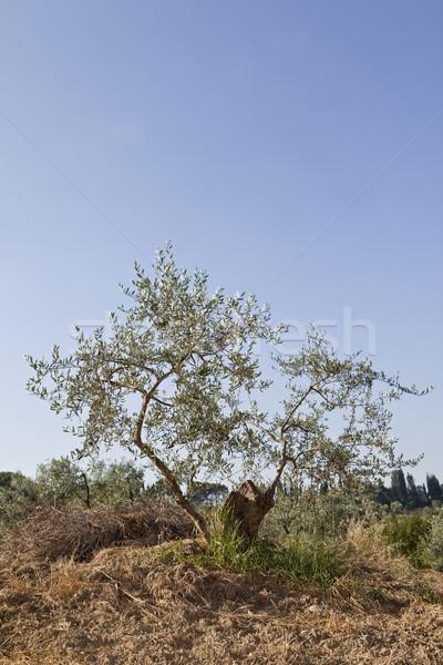 Olive tree Stock photo © gemenacom