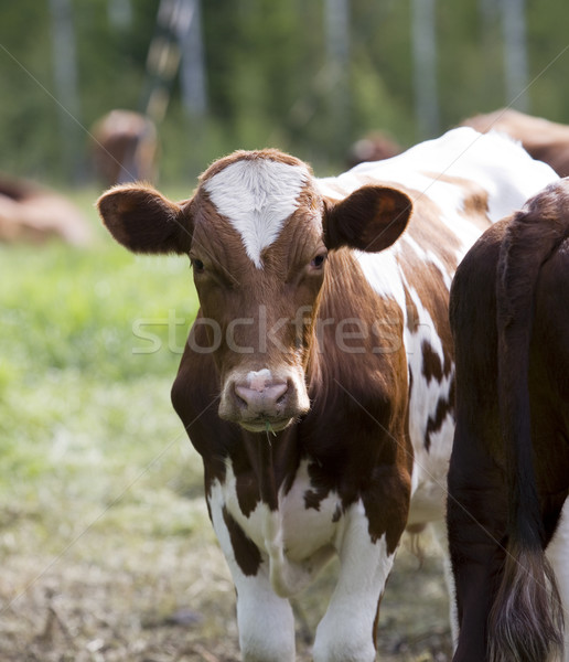 Vacas cena de tranquilidade doméstico grama pôr do sol natureza Foto stock © gemenacom