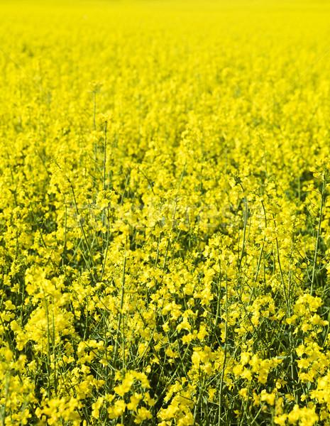 Oilseed Rape Stock photo © gemenacom