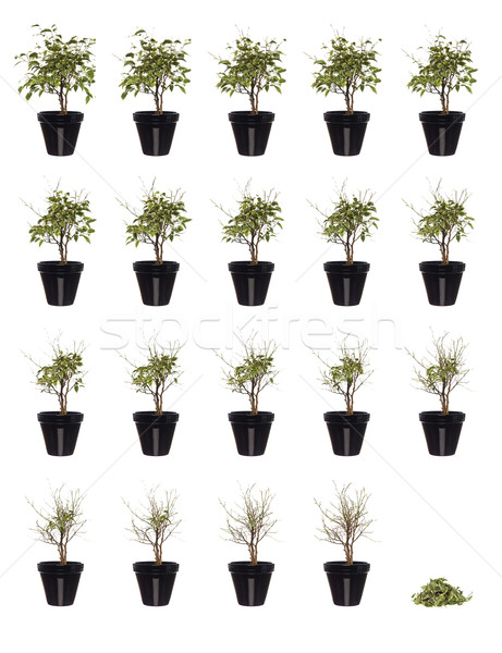 20 pictures of a potted plant in progress Stock photo © gemenacom