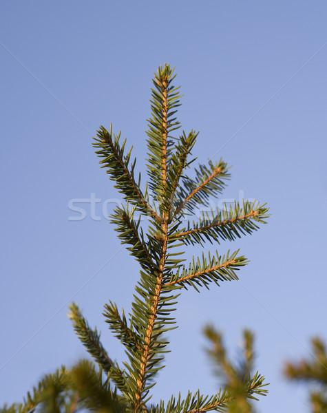 Closeup on a spruce  Stock photo © gemenacom