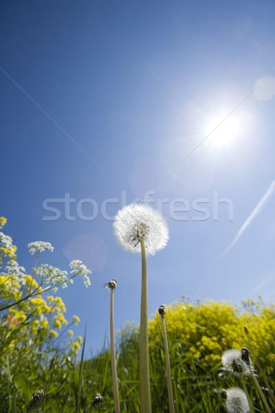 Dandelion Stock photo © gemenacom