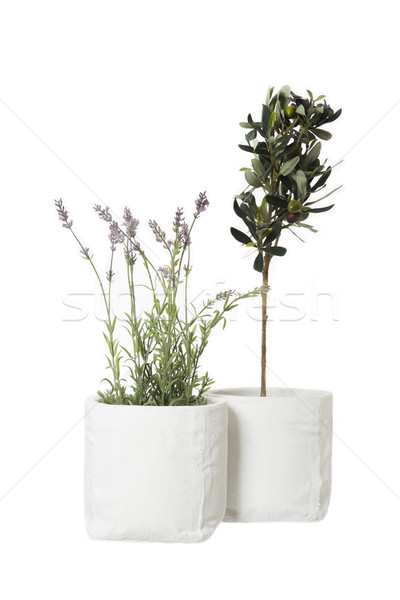 Lavendel olijfboom geïsoleerd witte blad plant Stockfoto © gemenacom