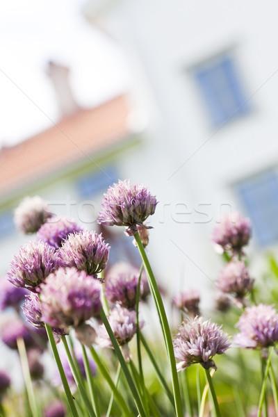 Purple Leek Stock photo © gemenacom