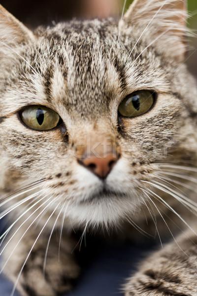 Cat close up Stock photo © gemenacom