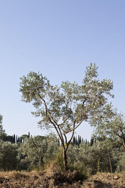 Olijfboom zomer ochtend landschap panoramisch Toscane Stockfoto © gemenacom
